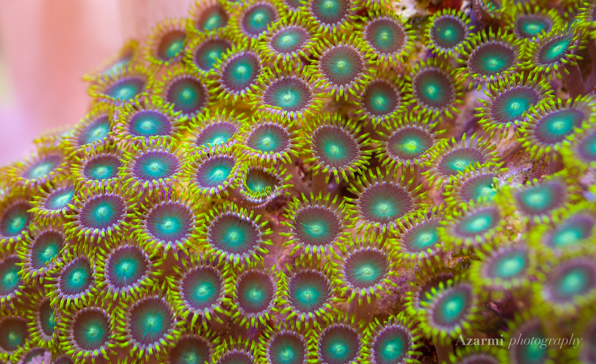 sp these small and beautiful polyps grow quickly in low light